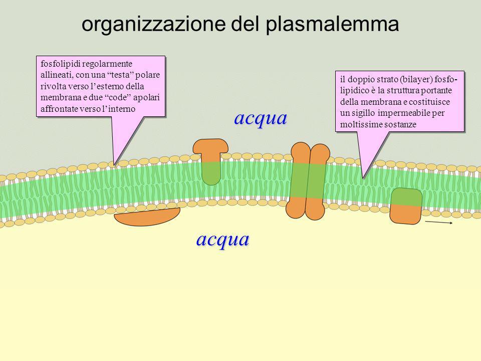 proteine del plasmalemma le proteine intrinseche sono immerse e saldamente ancorate al bilayer lipidico; sono quindi parte integrante della membrana le proteine estrinseche sono associate alla membrana ma non ne fanno parte integrante le proteine transmembrana sono proteine intrinseche che attraversano la membrana per intero; sono fondamentali per la comunicazione fra cellula e ambiente esterno il bilayer lipidico è sufficientemente fluido da consentire, entro certi limiti, lo scorrimento laterale delle proteine; il «salto» da un lato allaltro del bilayer, invece, è estremamente improbabile il bilayer lipidico è sufficientemente fluido da consentire, entro certi limiti, lo scorrimento laterale delle proteine; il «salto» da un lato allaltro del bilayer, invece, è estremamente improbabile