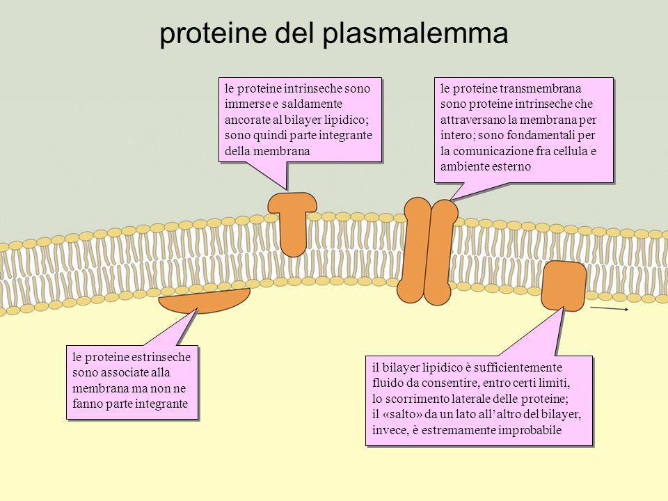 trasporto attraverso il plasmalemma alcune molecole sono in grado di attraversare libera- mente il bilayer lipidico acqua e ioni, a causa della loro polarità, passano solo attraverso canali proteici dedicati il passaggio di molte sostanze è consentito dalla presenza di proteine vettrici che, modificando la loro conformazione, «traghettano» le molecole da un alto allaltro della membrana molecole voluminose come le proteine non possono attraversare la membrana il trasporto contro gradienti di concentrazione richiede energia, come nel caso della pompa ionica Na-K