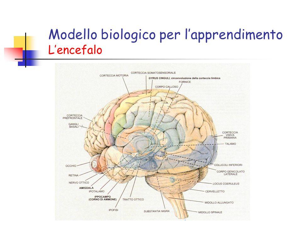 Modello biologico per lapprendimento Lencefalo