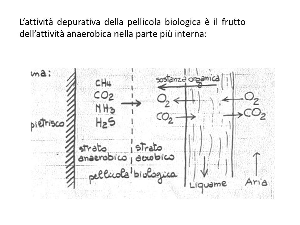 Lattività depurativa della pellicola biologica è il frutto dellattività anaerobica nella parte più interna: