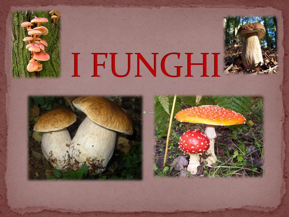 Il regno dei funghi è costituito da un gruppo abbastanza polimorfo di organismi eucarioti e eterotrofi, ovvero, privi di cloroplasti e pertanto non riconducibili al regno delle piante come, invece, si pensava in passato.