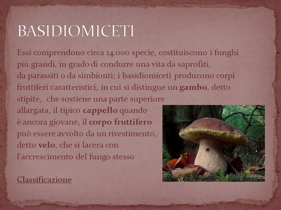Essi comprendono circa 14.000 specie, costituiscono i funghi più grandi, in grado di condurre una vita da saprofiti, da parassiti o da simbionti; i basidiomiceti producono corpi fruttiferi caratteristici, in cui si distingue un gambo, detto stipite, che sostiene una parte superiore allargata, il tipico cappello quando è ancora giovane, il corpo fruttifero può essere avvolto da un rivestimento, detto velo, che si lacera con l accrescimento del fungo stesso Classificazione