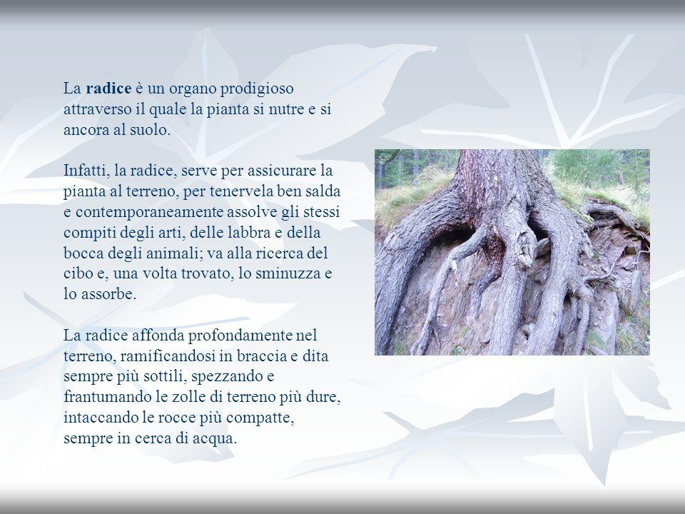 La radice è un organo prodigioso attraverso il quale la pianta si nutre e si ancora al suolo. Infatti, la radice, serve per assicurare la pianta al te