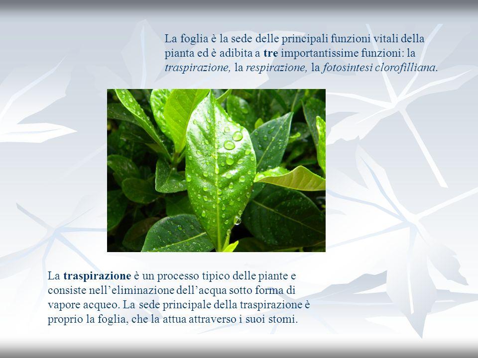 La traspirazione è un processo tipico delle piante e consiste nelleliminazione dellacqua sotto forma di vapore acqueo. La sede principale della traspi
