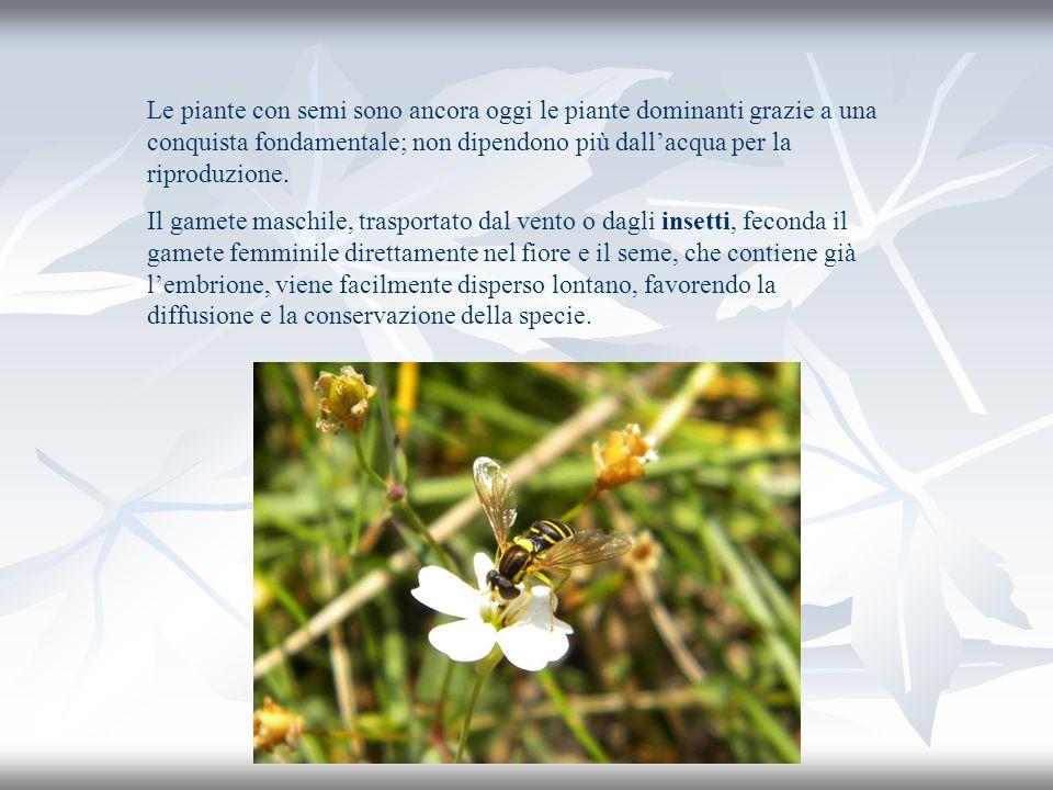 Le piante con semi sono ancora oggi le piante dominanti grazie a una conquista fondamentale; non dipendono più dallacqua per la riproduzione. Il gamet