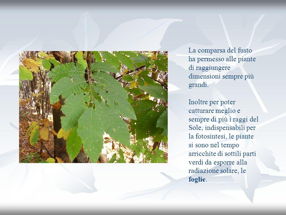 La comparsa del fusto ha permesso alle piante di raggiungere dimensioni sempre più grandi. Inoltre per poter catturare meglio e sempre di più i raggi