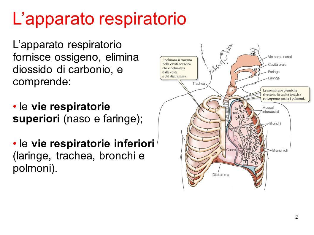 3 La trachea si ramifica in due bronchi, ognuno dei quali porta a un polmone.
