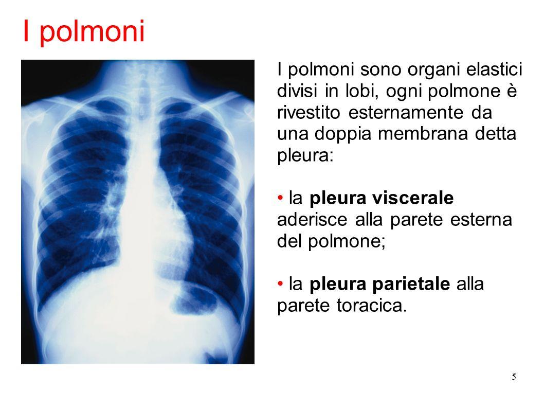 5 I polmoni sono organi elastici divisi in lobi, ogni polmone è rivestito esternamente da una doppia membrana detta pleura: la pleura viscerale aderis