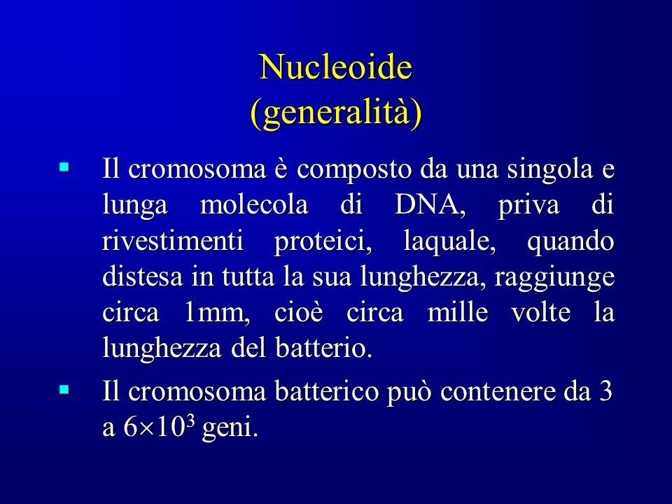 Nucleoide (generalità) Il cromosoma è composto da una singola e lunga molecola di DNA, priva di rivestimenti proteici, laquale, quando distesa in tutta la sua lunghezza, raggiunge circa 1mm, cioè circa mille volte la lunghezza del batterio.