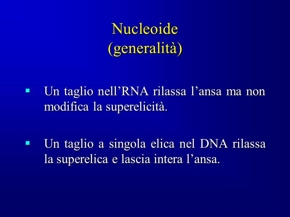 Nucleoide (generalità) Un taglio nellRNA rilassa lansa ma non modifica la superelicità.