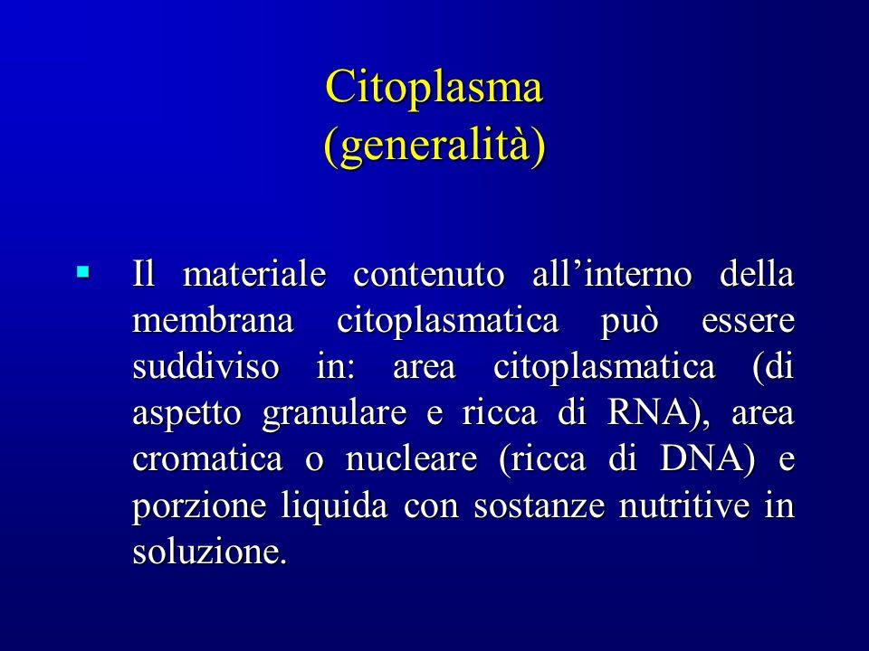 Citoplasma (generalità) Il materiale contenuto allinterno della membrana citoplasmatica può essere suddiviso in: area citoplasmatica (di aspetto granulare e ricca di RNA), area cromatica o nucleare (ricca di DNA) e porzione liquida con sostanze nutritive in soluzione.