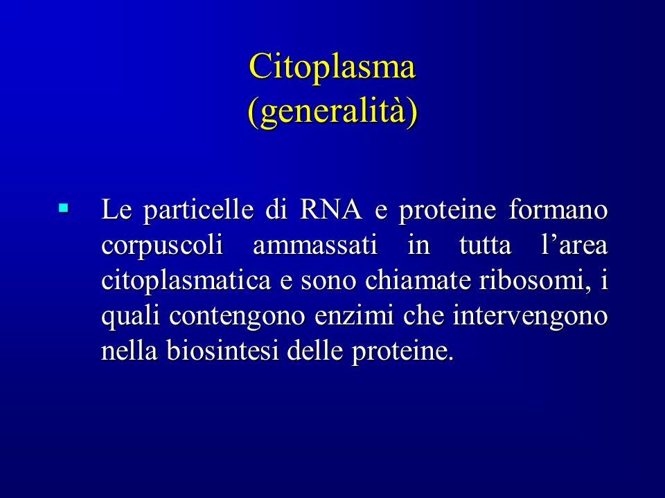 Citoplasma (generalità) Le particelle di RNA e proteine formano corpuscoli ammassati in tutta larea citoplasmatica e sono chiamate ribosomi, i quali contengono enzimi che intervengono nella biosintesi delle proteine.