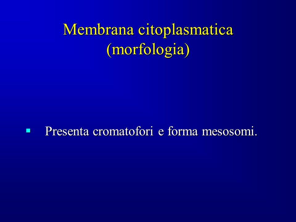 Membrana citoplasmatica (morfologia) Presenta cromatofori e forma mesosomi. Presenta cromatofori e forma mesosomi.