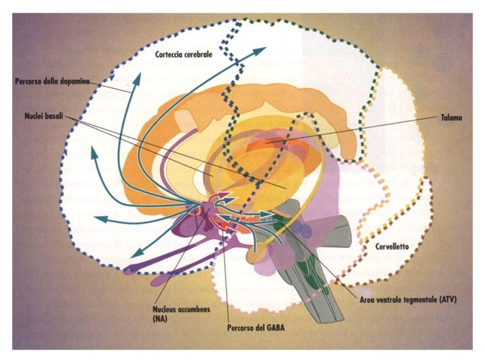 SURVIVAL BEHAVIOURS DOPAMINE DEFICITS Nourishment Sexual Behaviour Self defence / Aggression Cognitive Impairment Lack of Desire Reduced Energy or Activity Lack of motivation Lack of aggressiveness Lack of pleasure Attention / Learning / Memory Desire Motivation Reward / Pleasure Aggressiveness POSSIBILI RUOLI DELLA DOPAMINA DEL SISTEMA MESO- CORTICO-LIMBICO FUNCTIONS Gessa GL et al., 2002
