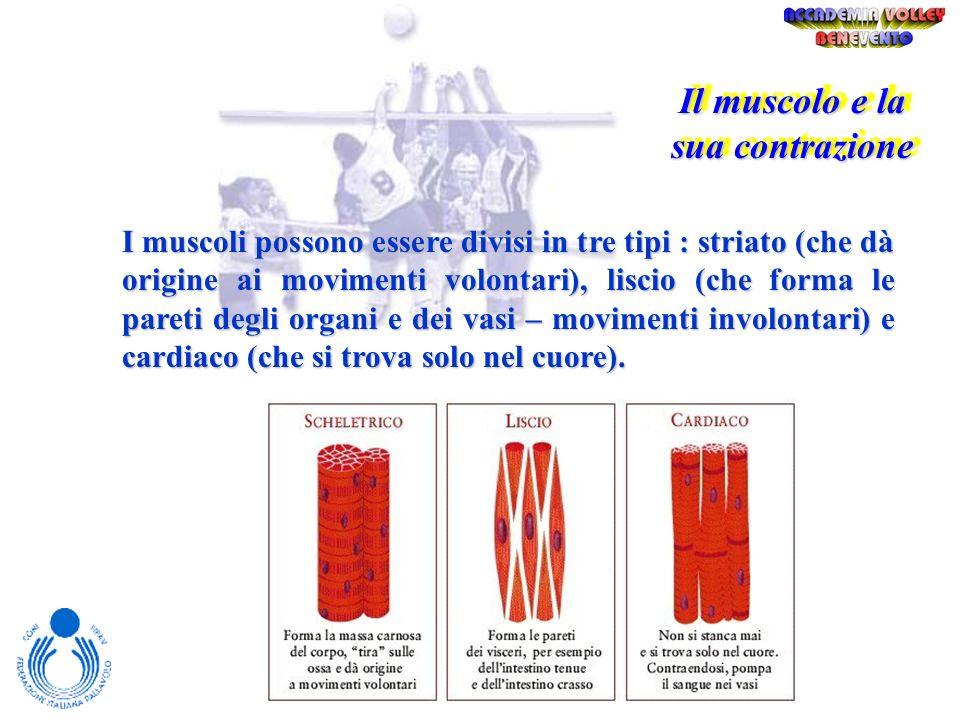 Il muscolo e la sua contrazione Il tessuto muscolare è formato da cellule muscolari simili a fibre, chiamate semplicemente fibre, unite tra loro in fa