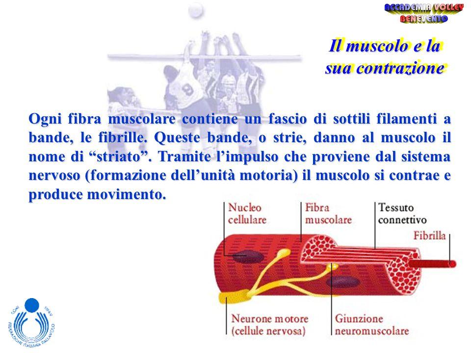 I muscoli possono essere divisi in tre tipi : striato (che dà origine ai movimenti volontari), liscio (che forma le pareti degli organi e dei vasi – m