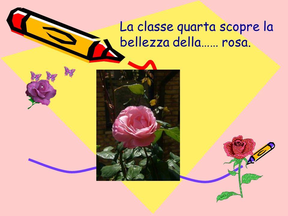 La classe quarta scopre la bellezza della…… rosa.