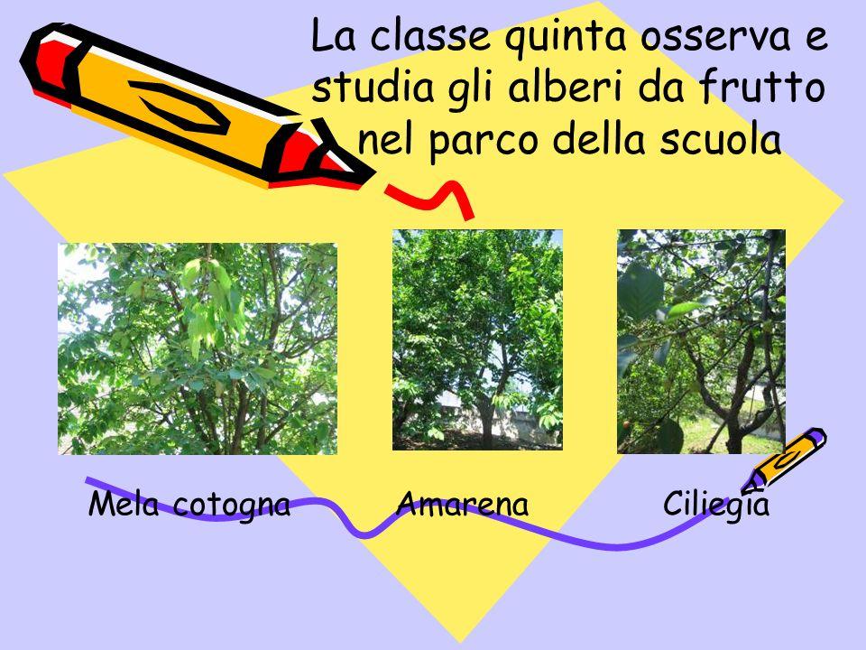 La classe quinta osserva e studia gli alberi da frutto nel parco della scuola Mela cotogna Amarena Ciliegia