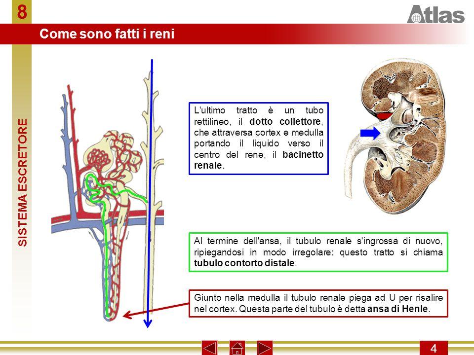 8 4 L ultimo tratto è un tubo rettilineo, il dotto collettore, che attraversa cortex e medulla portando il liquido verso il centro del rene, il bacinetto renale.