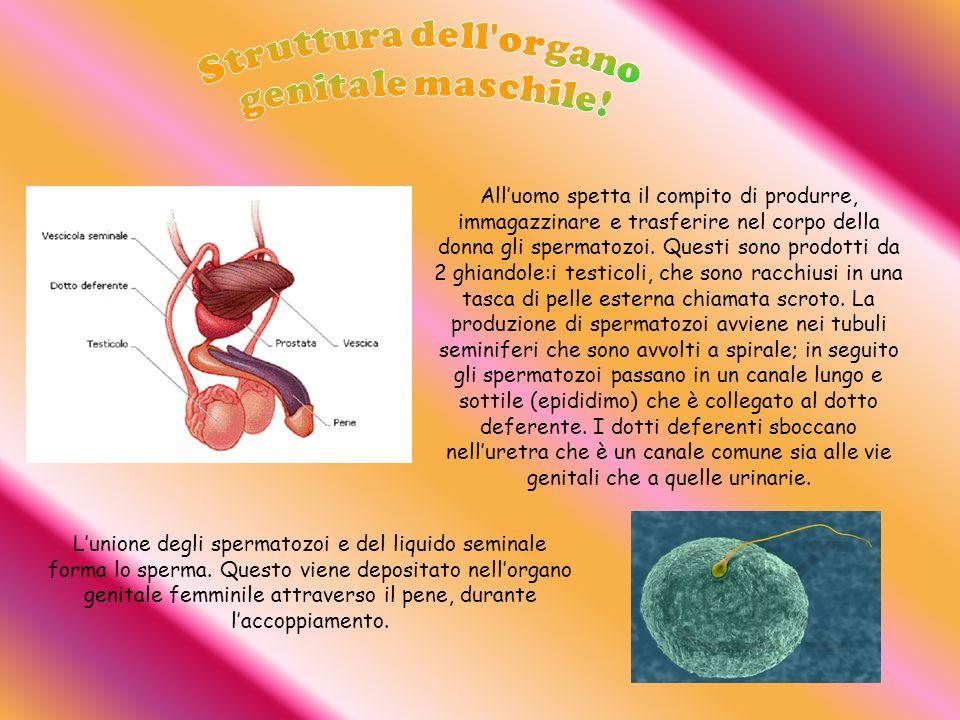 Alluomo spetta il compito di produrre, immagazzinare e trasferire nel corpo della donna gli spermatozoi. Questi sono prodotti da 2 ghiandole:i testico