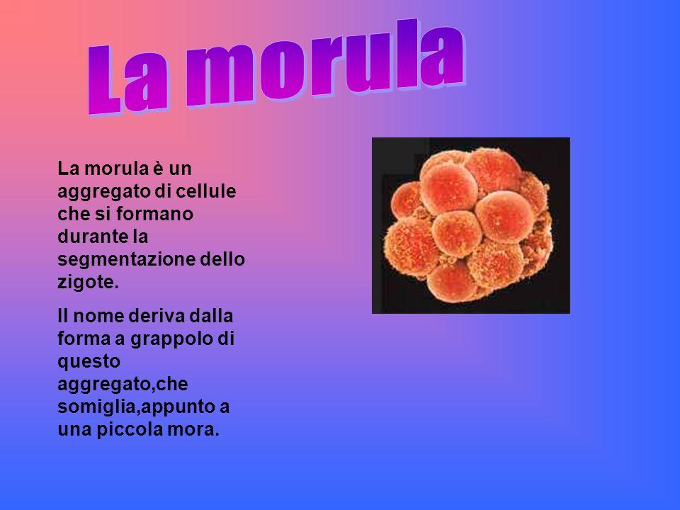 La morula è un aggregato di cellule che si formano durante la segmentazione dello zigote. Il nome deriva dalla forma a grappolo di questo aggregato,ch