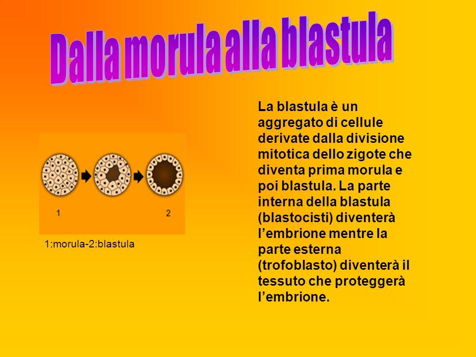 1:morula-2:blastula La blastula è un aggregato di cellule derivate dalla divisione mitotica dello zigote che diventa prima morula e poi blastula. La p