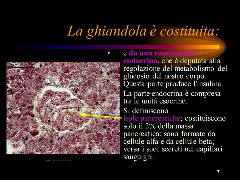 7 La ghiandola è costituita: e da una componente endocrina, che è deputata alla regolazione del metabolismo del glucosio del nostro corpo. Questa part