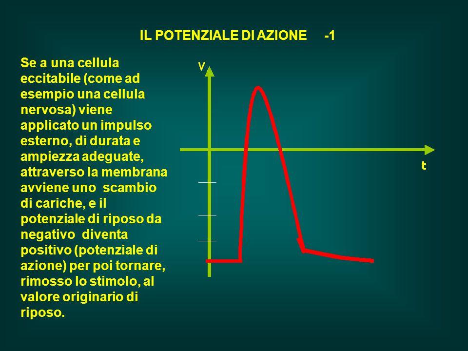 Se a una cellula eccitabile (come ad esempio una cellula nervosa) viene applicato un impulso esterno, di durata e ampiezza adeguate, attraverso la mem