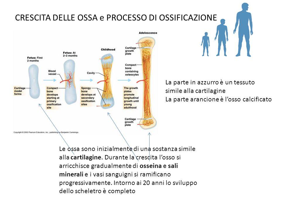 CRESCITA DELLE OSSA e PROCESSO DI OSSIFICAZIONE La parte in azzurro è un tessuto simile alla cartilagine La parte arancione è losso calcificato Le oss