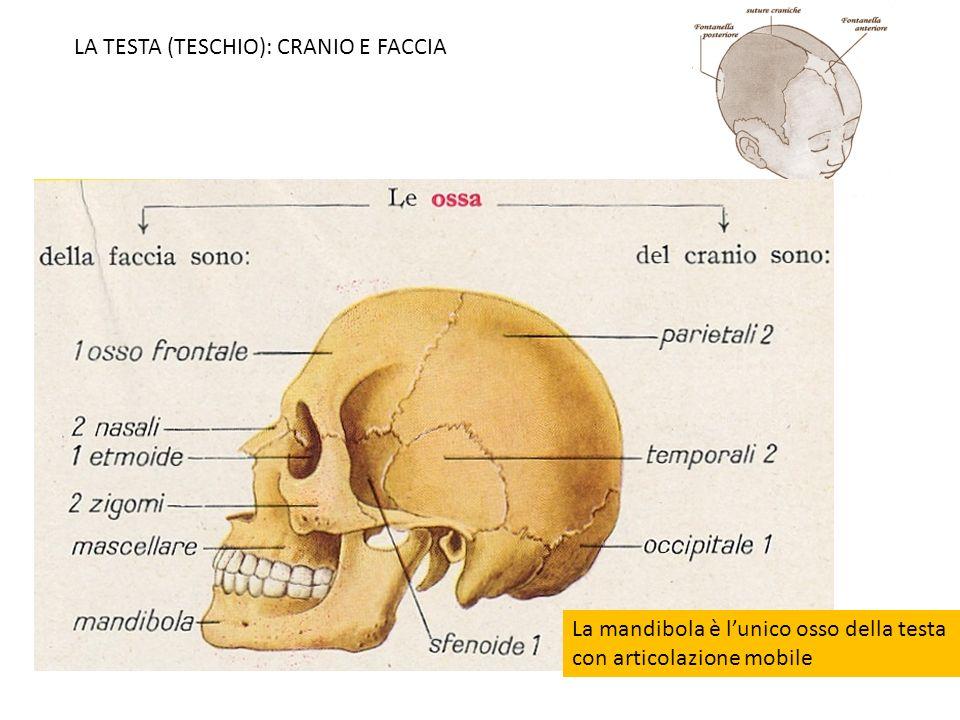 LA TESTA (TESCHIO): CRANIO E FACCIA La mandibola è lunico osso della testa con articolazione mobile