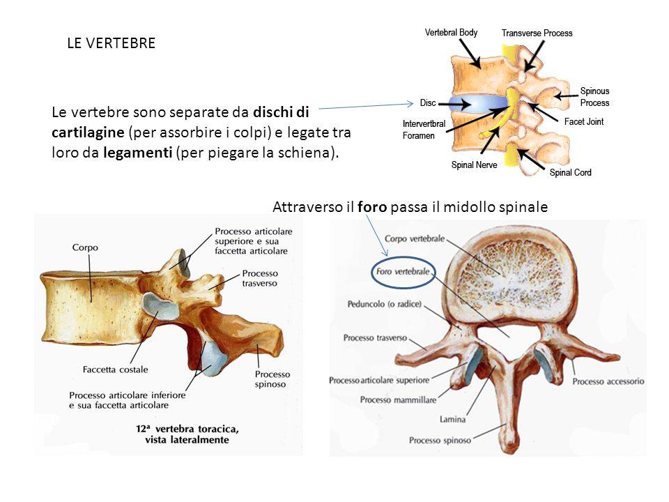 LE VERTEBRE Le vertebre sono separate da dischi di cartilagine (per assorbire i colpi) e legate tra loro da legamenti (per piegare la schiena). Attrav