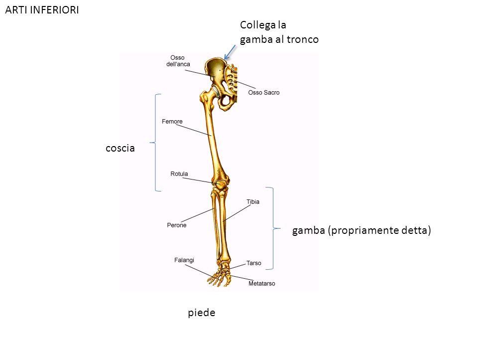 ARTI INFERIORI Collega la gamba al tronco coscia gamba (propriamente detta) piede