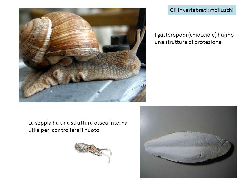 Gli invertebrati: molluschi I gasteropodi (chiocciole) hanno una struttura di protezione La seppia ha una struttura ossea interna utile per controllar