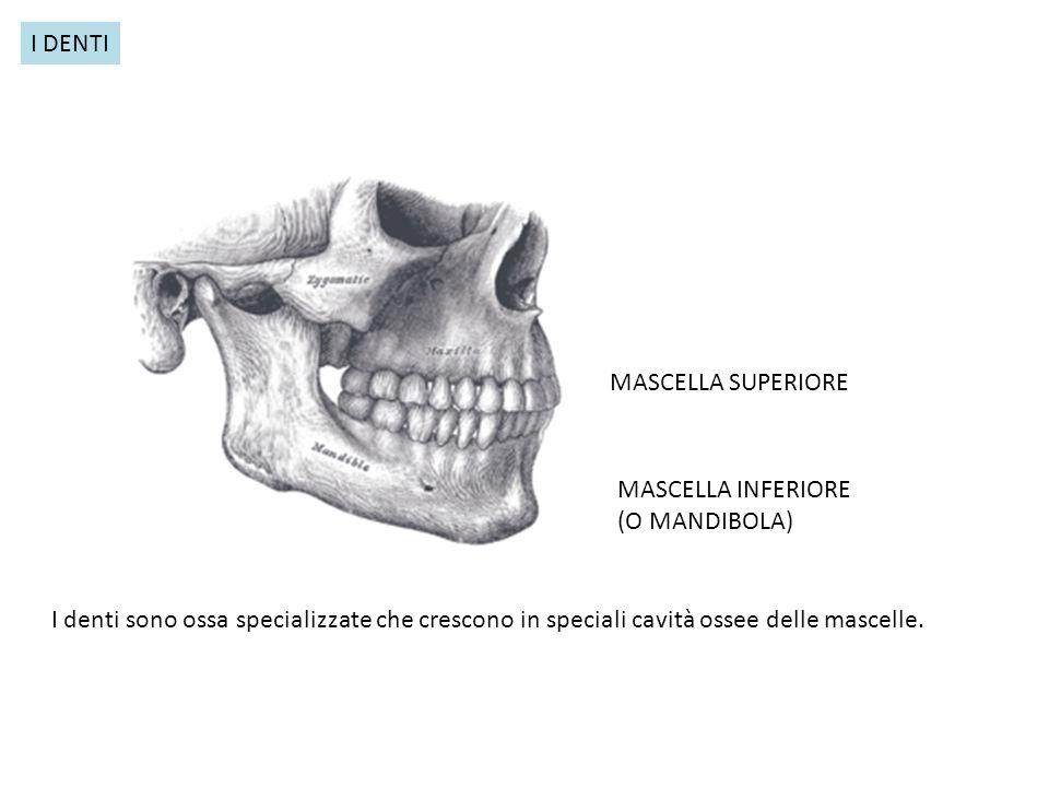 MASCELLA SUPERIORE MASCELLA INFERIORE (O MANDIBOLA) I DENTI I denti sono ossa specializzate che crescono in speciali cavità ossee delle mascelle.
