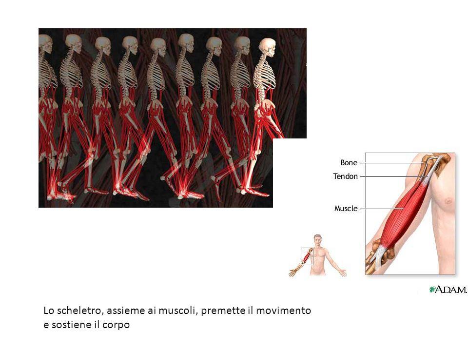 Lo scheletro, assieme ai muscoli, premette il movimento e sostiene il corpo