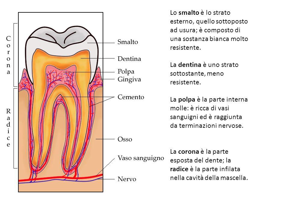 Lo smalto è lo strato esterno, quello sottoposto ad usura; è composto di una sostanza bianca molto resistente. La dentina è uno strato sottostante, me