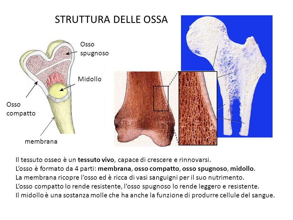 STRUTTURA DELLE OSSA Osso spugnoso Osso compatto Midollo Il tessuto osseo è un tessuto vivo, capace di crescere e rinnovarsi. Losso è formato da 4 par