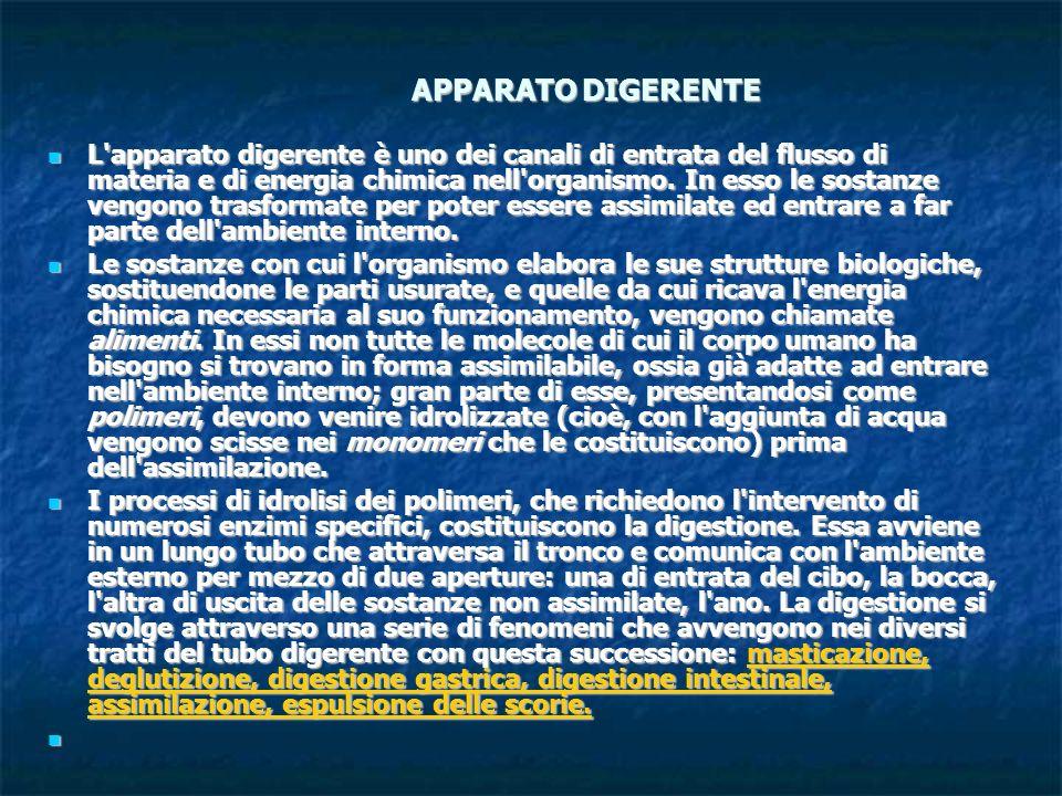 MORFOLOGIA & FISIOLOGIA MORFOLOGIA & FISIOLOGIA Il lungo condotto nel quale avviene la digestione delle sostanze alimentari si chiama tubo digerente: in esso si riversano i secreti delle ghiandole che producono gli enzimi digestivi.