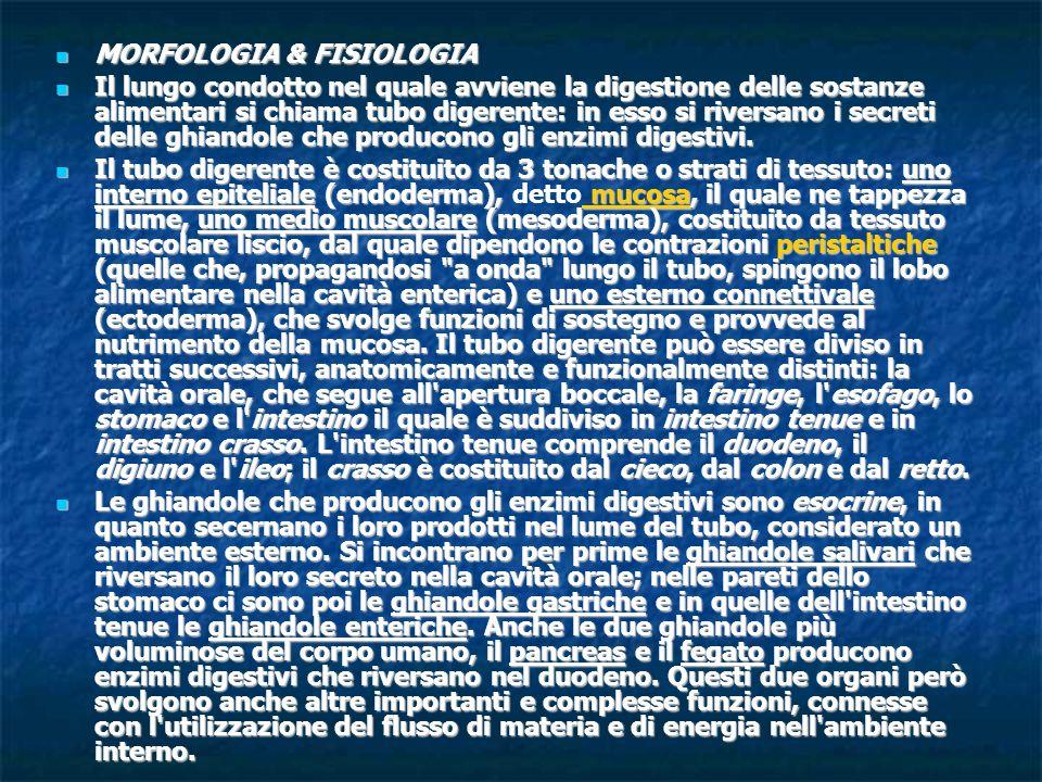 MORFOLOGIA & FISIOLOGIA MORFOLOGIA & FISIOLOGIA Il lungo condotto nel quale avviene la digestione delle sostanze alimentari si chiama tubo digerente: