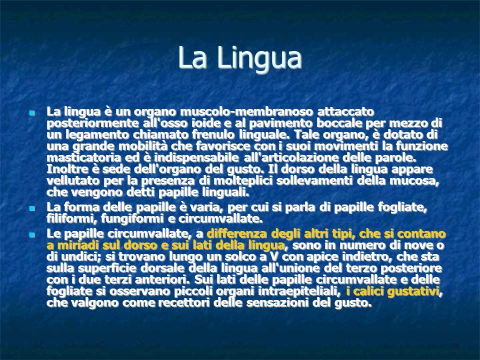 La Lingua La lingua è un organo muscolo membranoso attaccato posteriormente all'osso ioide e al pavimento boccale per mezzo di un legamento chiamato f