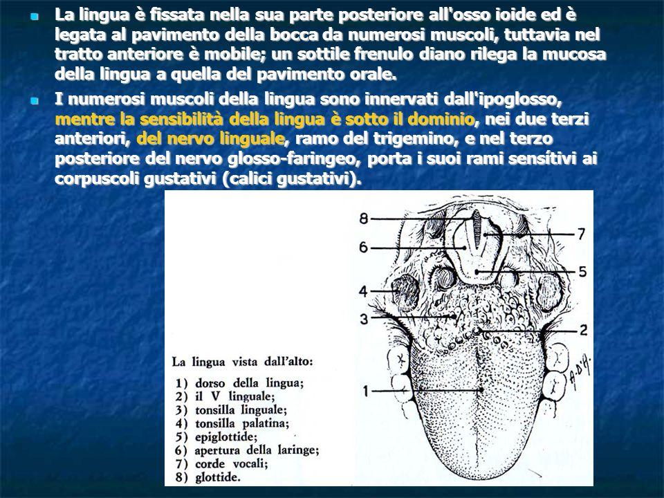 La lingua è fissata nella sua parte posteriore all'osso ioide ed è legata al pavimento della bocca da numerosi muscoli, tuttavia nel tratto anteriore