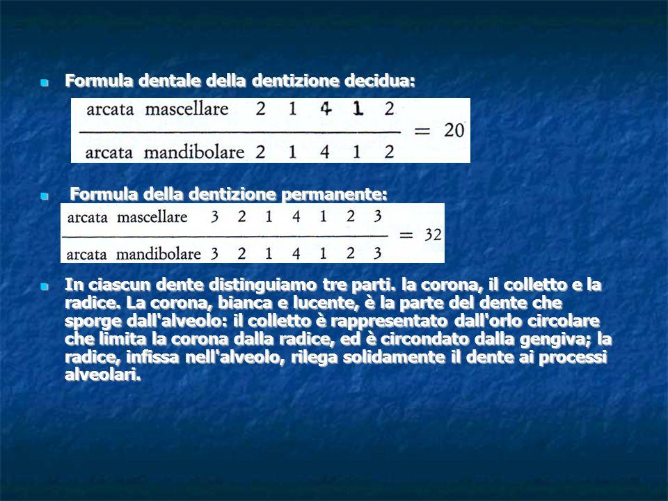 Formula dentale della dentizione decidua: Formula dentale della dentizione decidua: Formula della dentizione permanente: Formula della dentizione perm