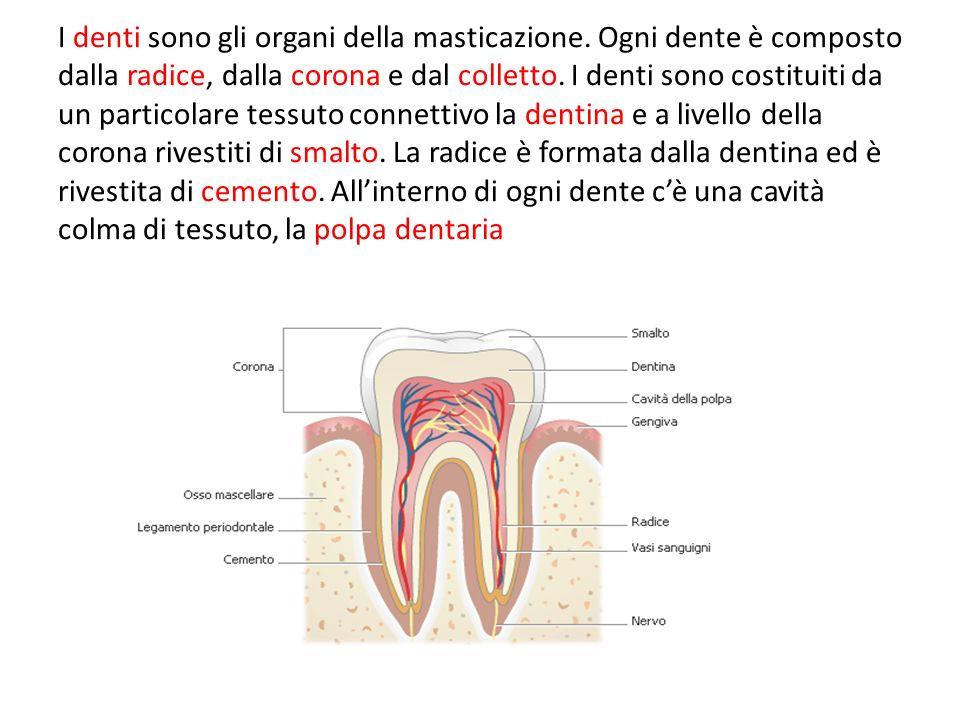 I denti sono gli organi della masticazione. Ogni dente è composto dalla radice, dalla corona e dal colletto. I denti sono costituiti da un particolare
