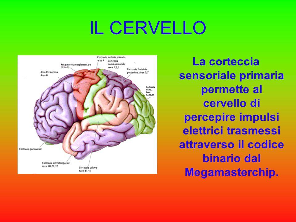 La corteccia sensoriale primaria permette al cervello di percepire impulsi elettrici trasmessi attraverso il codice binario dal Megamasterchip.