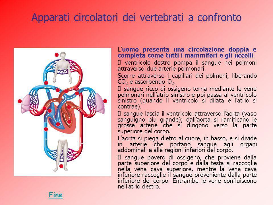 Apparati circolatori dei vertebrati a confronto Luomo presenta una circolazione doppia e completa come tutti i mammiferi e gli uccelli. Il ventricolo