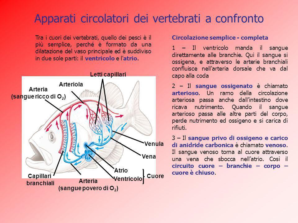 Apparati circolatori dei vertebrati a confronto Circolazione semplice - completa 1 – Il ventricolo manda il sangue direttamente alle branchie. Qui il