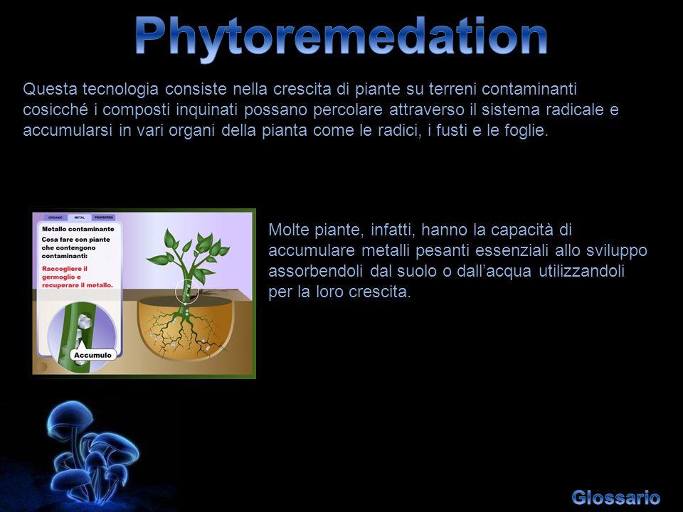 Questa tecnologia consiste nella crescita di piante su terreni contaminanti cosicché i composti inquinati possano percolare attraverso il sistema radi