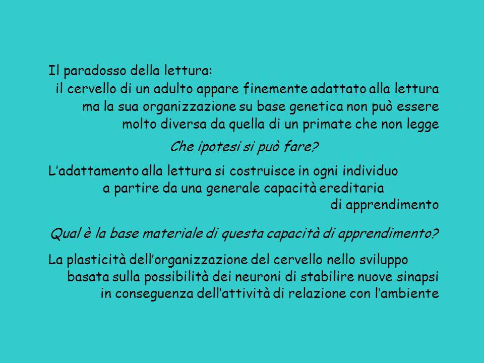 Il paradosso della lettura: il cervello di un adulto appare finemente adattato alla lettura ma la sua organizzazione su base genetica non può essere m
