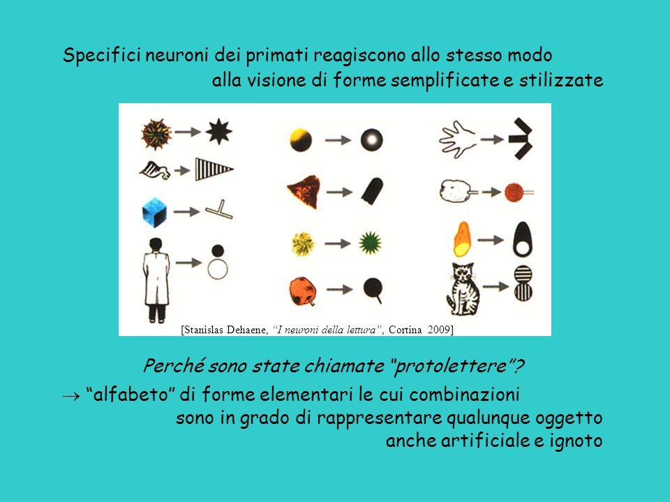 Specifici neuroni dei primati reagiscono allo stesso modo alla visione di forme semplificate e stilizzate Perché sono state chiamate protolettere? alf
