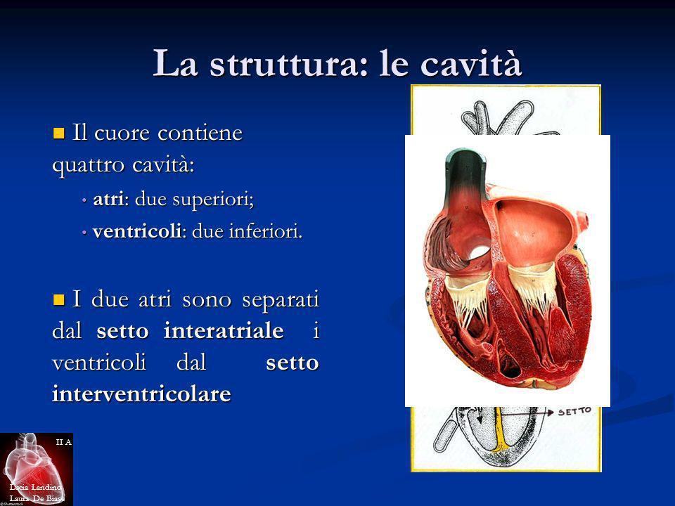 La struttura: le cavità Il cuore contiene quattro cavità: Il cuore contiene quattro cavità: atri: due superiori; atri: due superiori; ventricoli: due